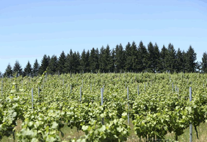 Holmes Hill vineyard
