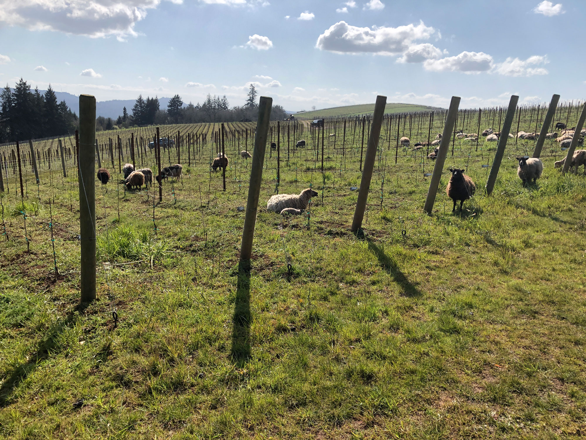 Sheep helping with vineyard care at Cristom Vineyards