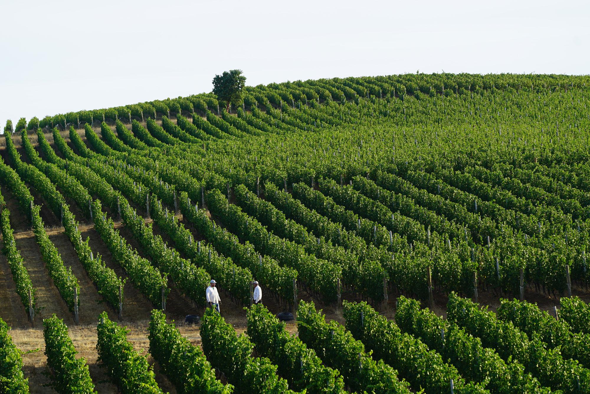 Two vineyard workers standing in Cristom vineyard