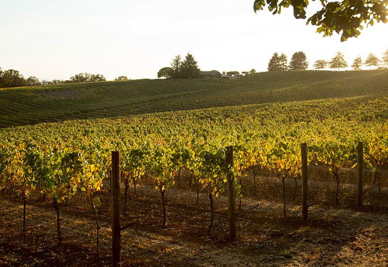 Canary Hill vineyard